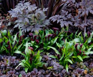 Top 10 Black Flowers and Plants to Add Drama to Your Garden