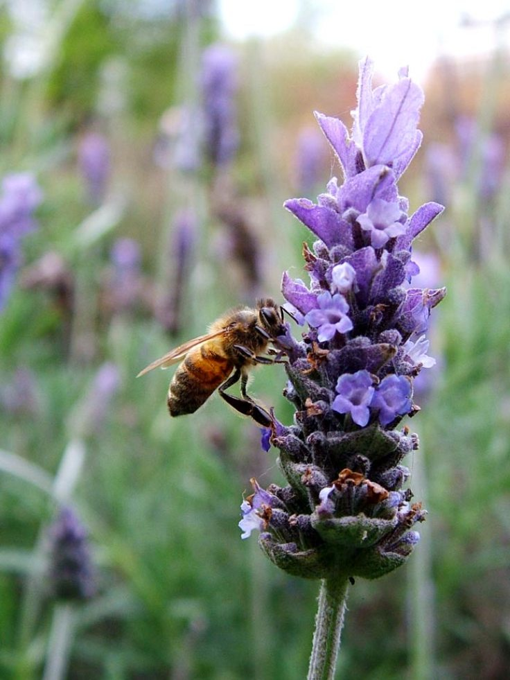 Garden Bush: Top 10 Plants For Your Garden To Help Save The Bees