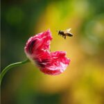 Poppies-150x150