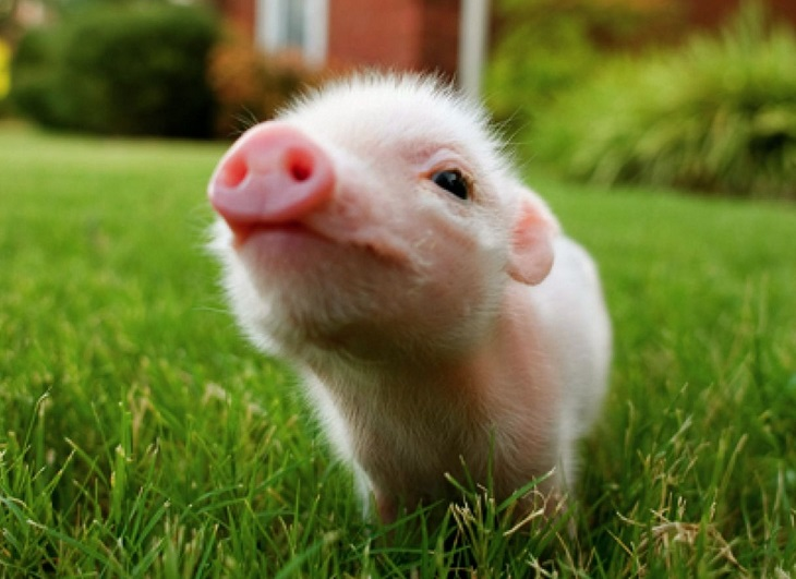 Baby-pig-wallpapers-2