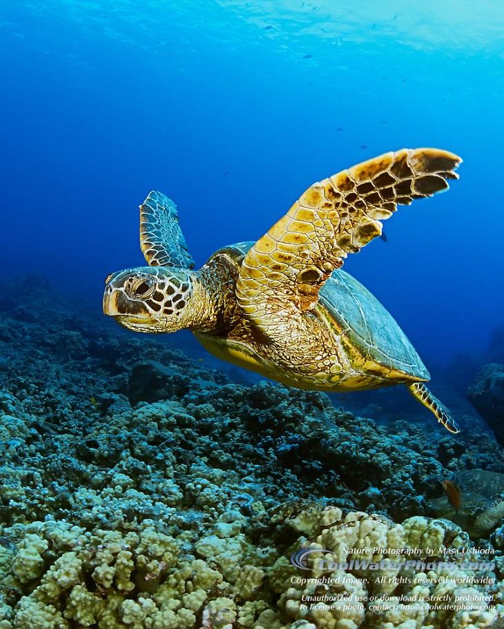 Green-Sea-Turtle-0001-V