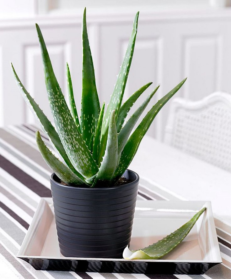 Top 10 Houseplants with Medicinal Properties