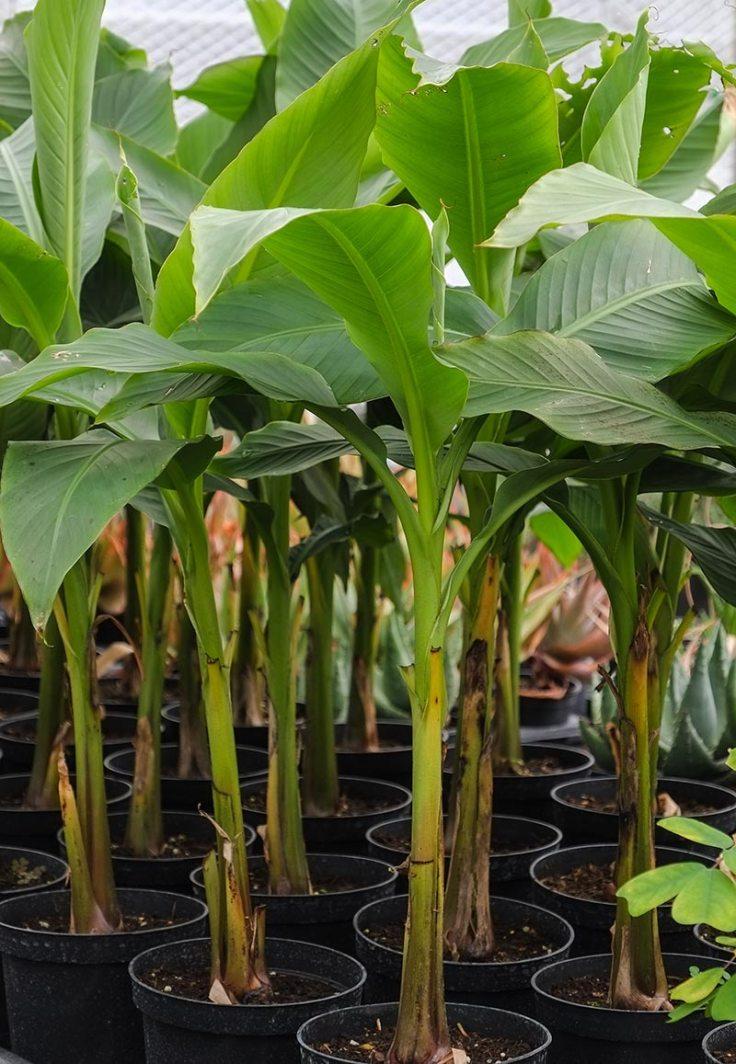 Planting-The-Banana