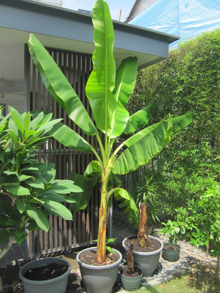 Watering-Your-Potted-Banana