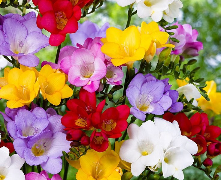 Top 10 Of The Most Fragrant Flowers In The World Page 9