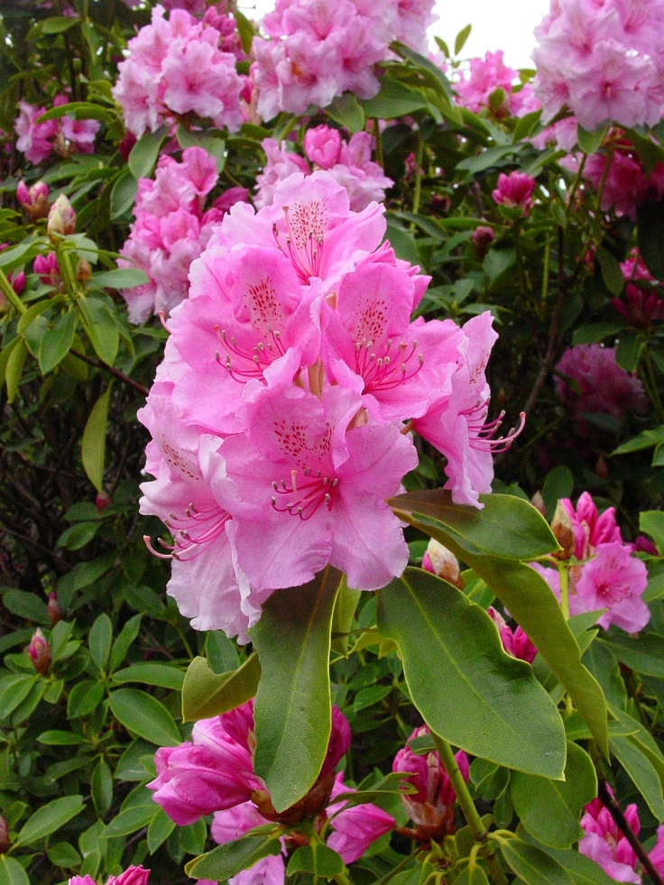 Rhododendron-and-Azalea