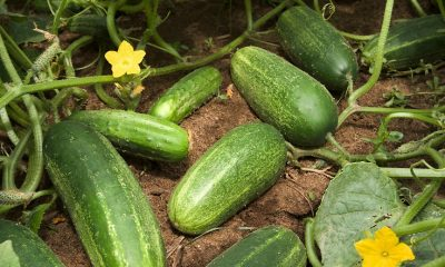 Growing cucumbers is easy. In fact, cucumbers are the second most popular vegetable grown in the home garden, ranked right after tomatoes. Learn everything you need to know to successfully grow them.