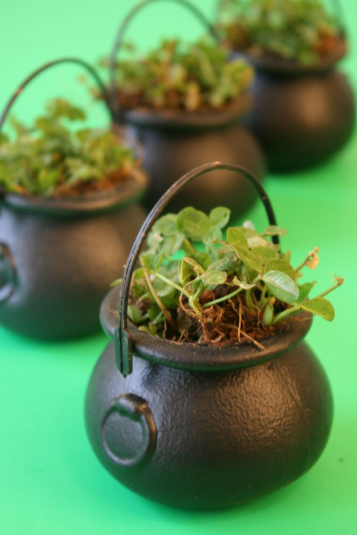 Potted-Clover