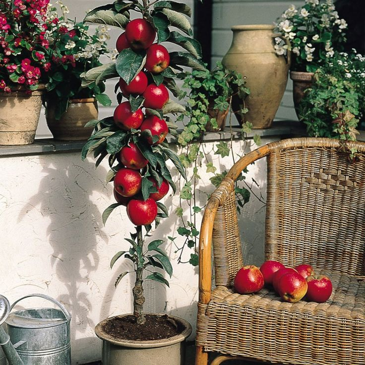 Apple-Red-Spur