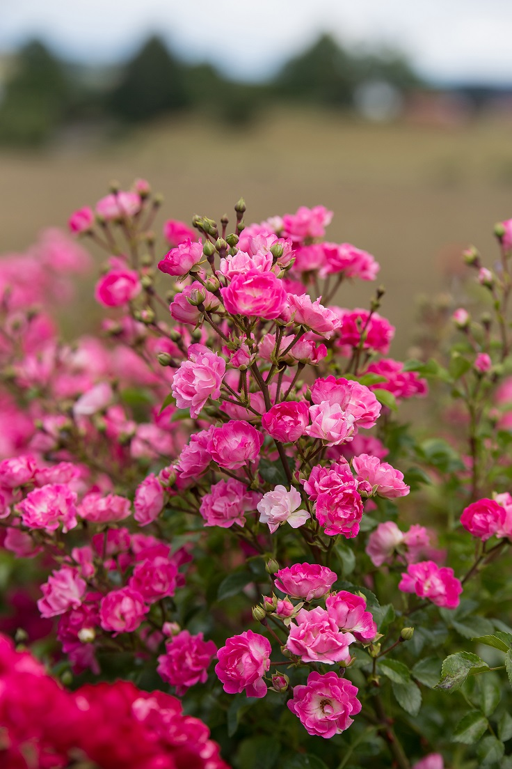 Roses In Garden: Top 10 Types Of Roses You Would Love To Have In Your