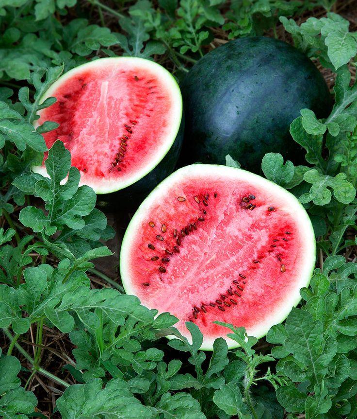 Sugar-Baby-Watermelon