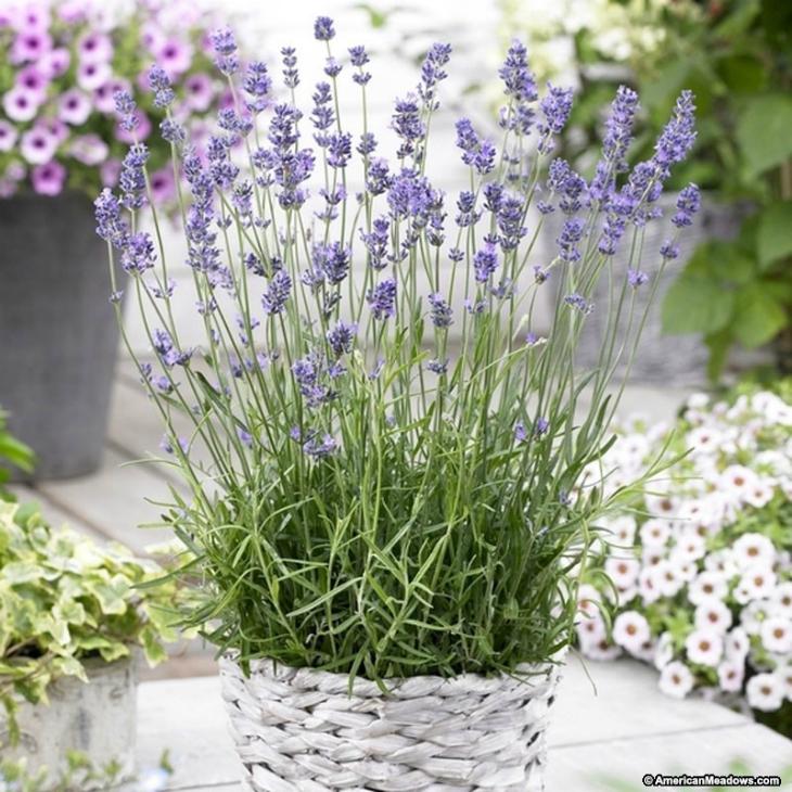 Garden Bush: Top 10 Reasons To Grow Fragrant Lavender