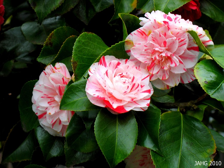 Camellia-Lavinia-Maggi