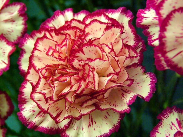 Carnation-White-Tundra