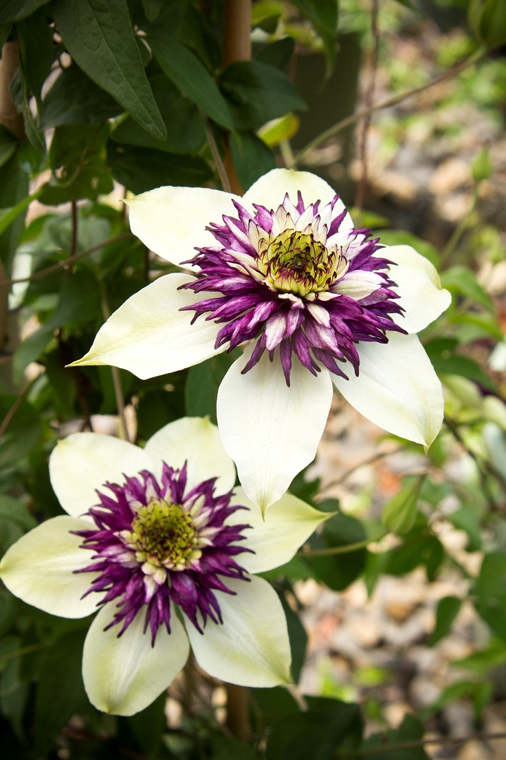 Top 10 best flowers for a rainbow garden page 6 of 10 for Clematis florida