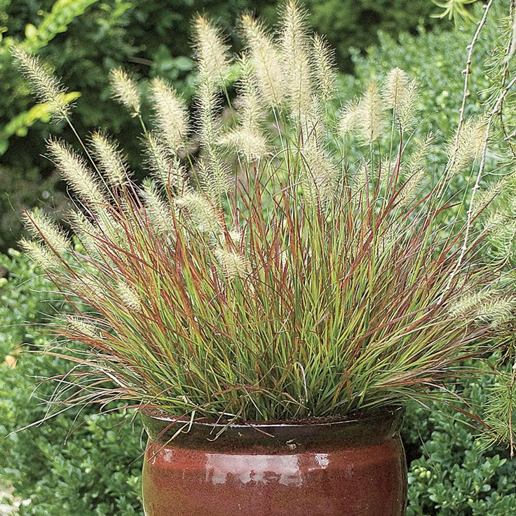 Top 10 ornamental grasses for containers top inspired top 10 ornamental grasses for containers workwithnaturefo