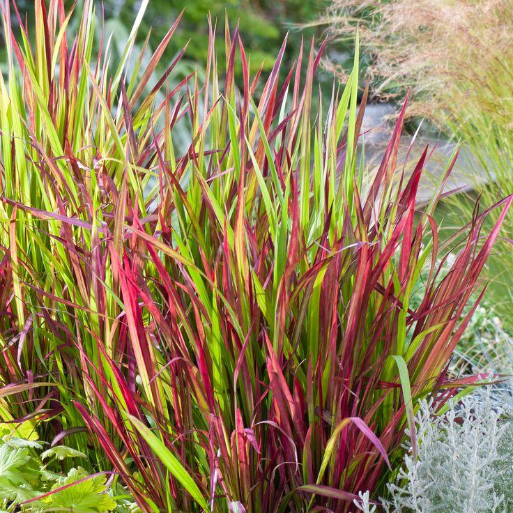 Japanese-Blood-Grass-