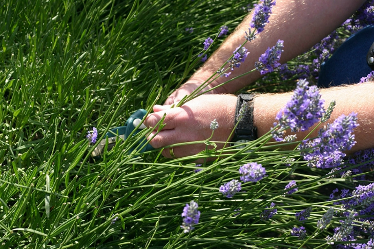 Top 10 Tips How To Grow Lavender