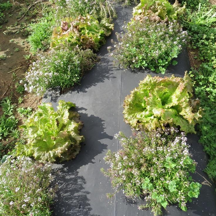 Lettuce-and-Sweet-Alyssum