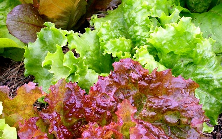 Top 10 Tips on How to Grow Lettuce