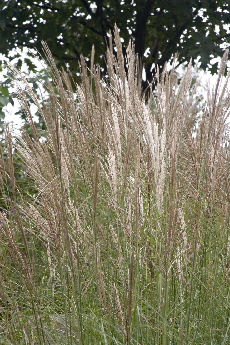 Top 10 ornamental grasses for containers top inspired for Ornamental grasses that grow in shade