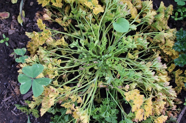 Parsley-Pests-and-Diseases