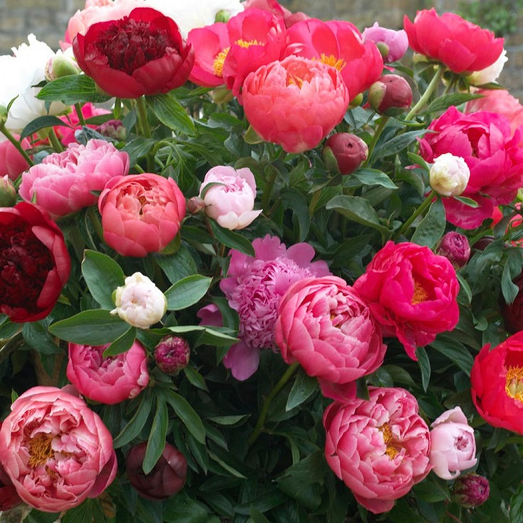 Top 10 Tips on Growing Peonies