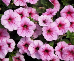 Top 10 Flowers That Will Make Your Garden a Pink Paradise