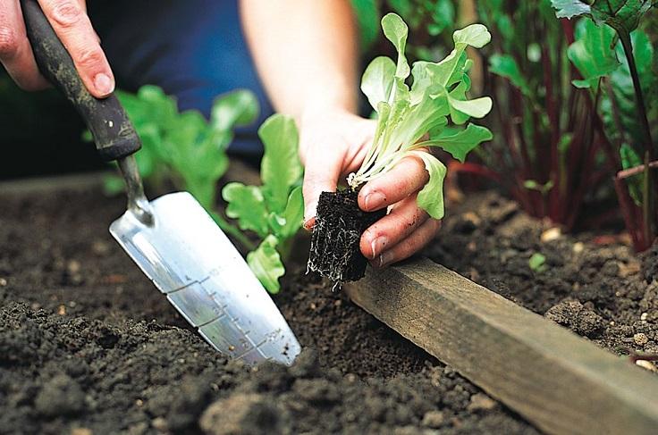 Planting-Lettuce