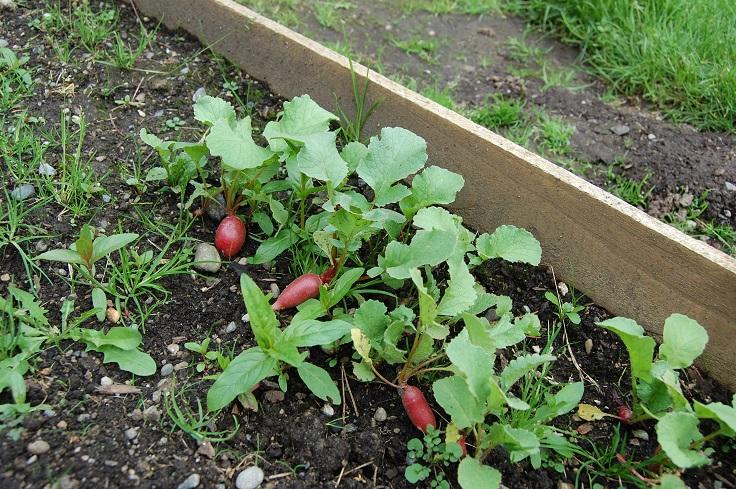 Planting-Radish
