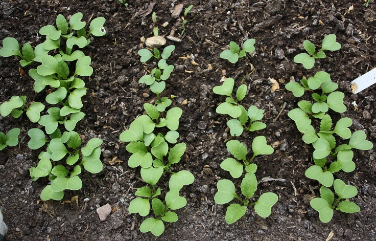 Radish-Seedlings