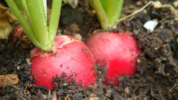 Radishes-and-Soil
