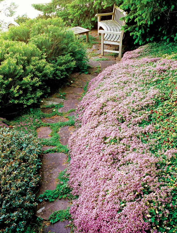 Red-Creeping-Thyme