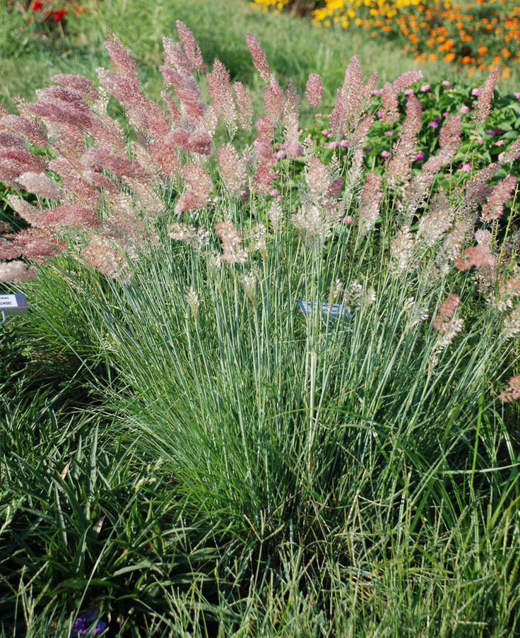 Top 10 ornamental grasses for containers top inspired for Tall perennial grasses
