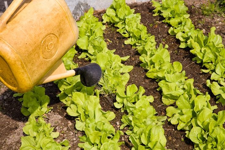 Watering-Lettuce