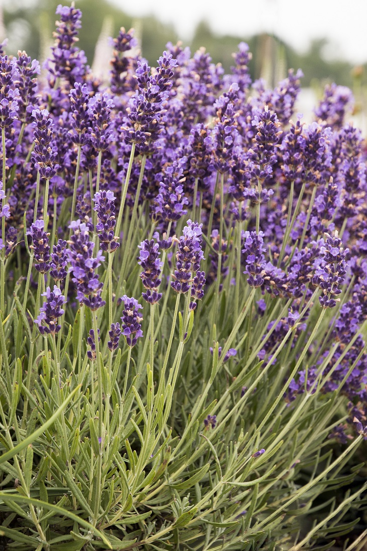 top 10 lavender varieties to grow in your garden