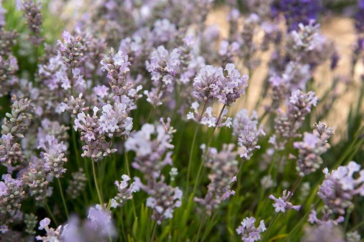 Garden Bush: TOP 10 Lavender Varieties To Grow In Your Garden