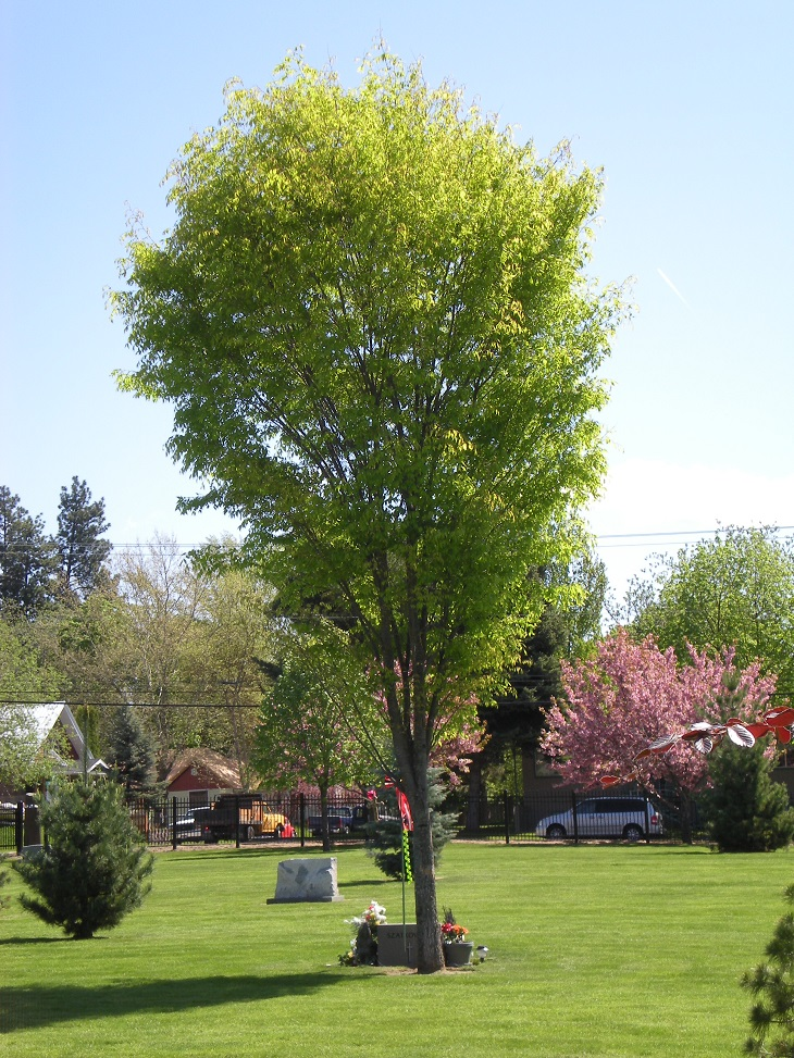 Ten Top Tips For Small Shady Urban Gardens: TOP 10 Fastest Growing Shade Trees