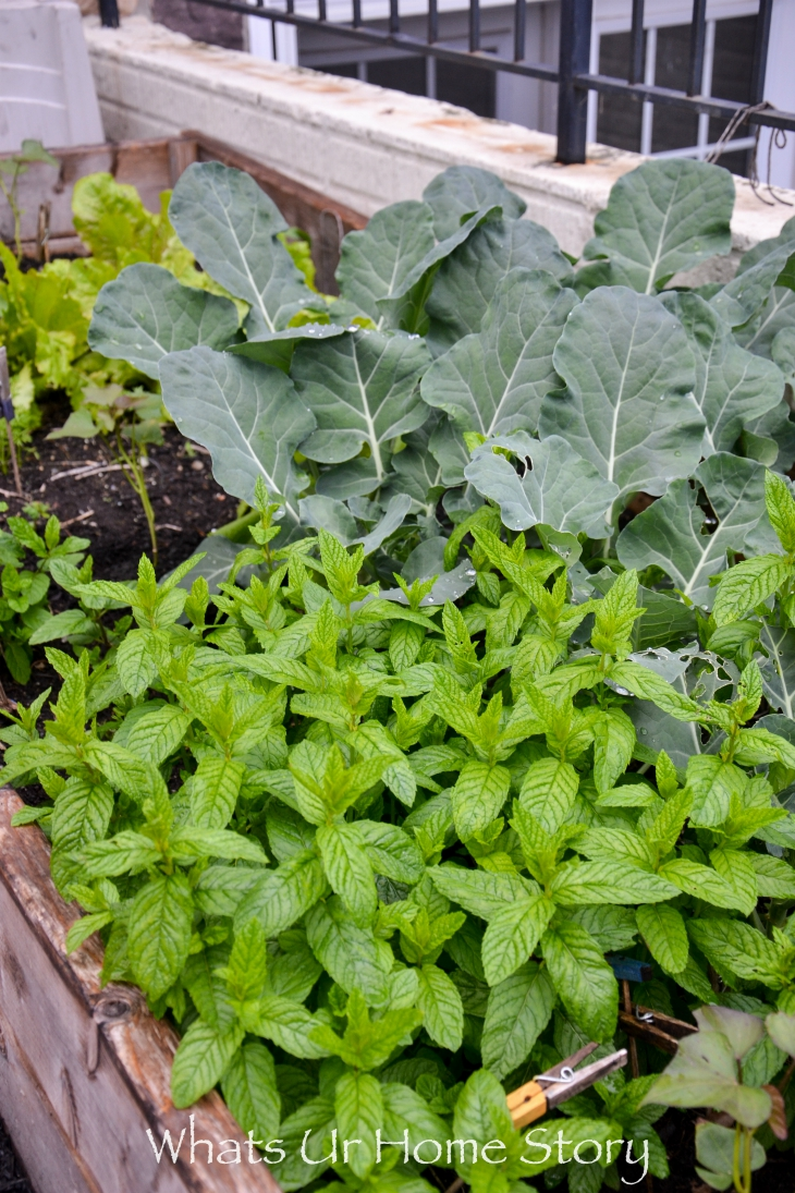 Top 10 Advices About Growing Mint
