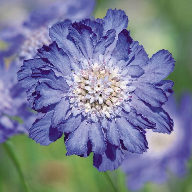 Blue-Pincushion-Flower