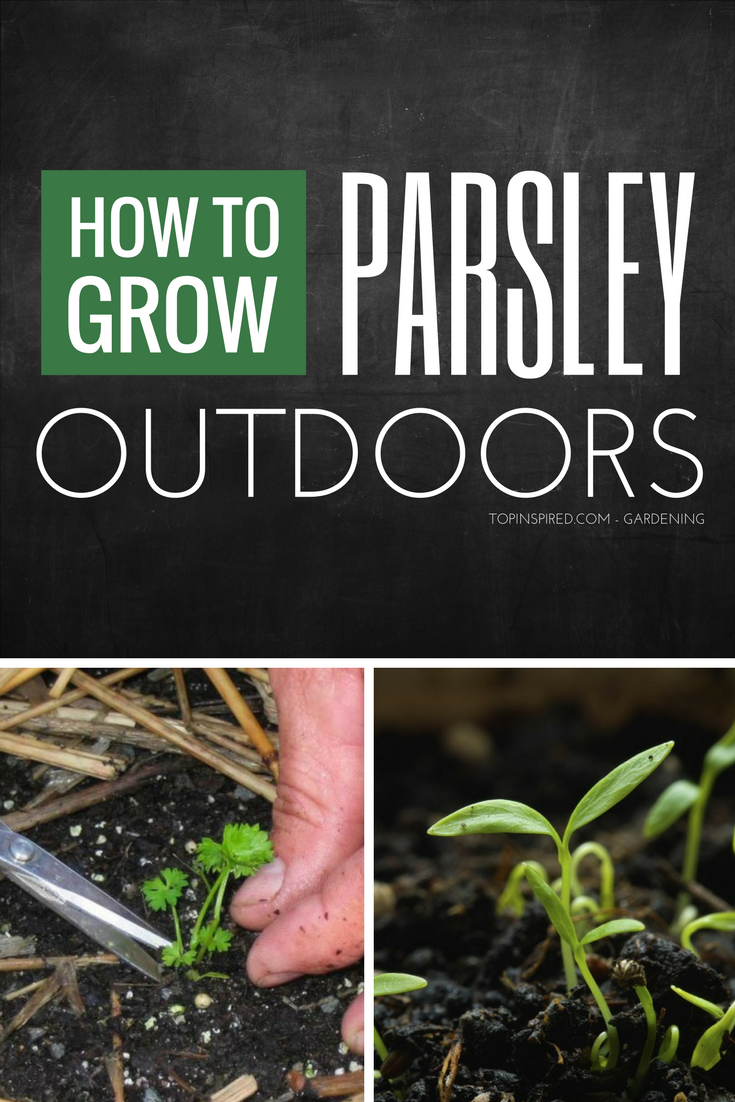 Top 10 Tips on How to Grow Parsley Outdoors