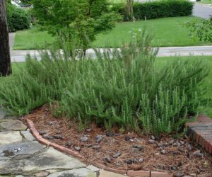 Top 10 Advices How To Grow Rosemary