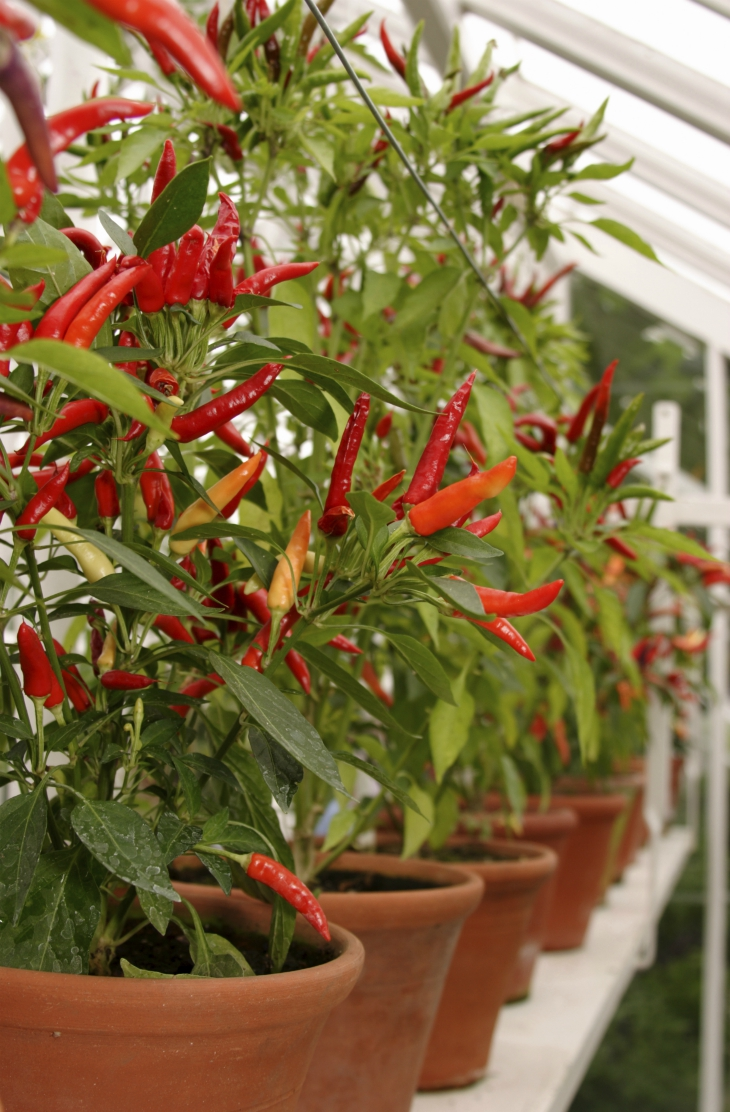 Top 10 Advices On How To Grow Chili Peppers