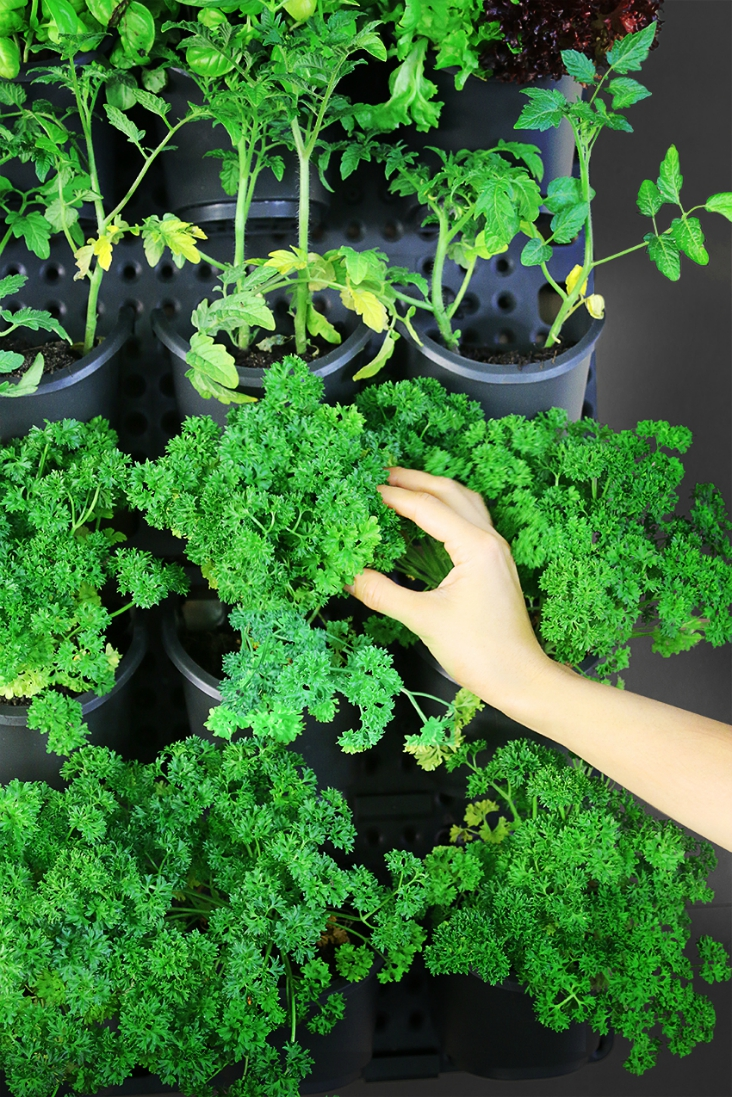 Top 10 Advices On How To Grow Parsley