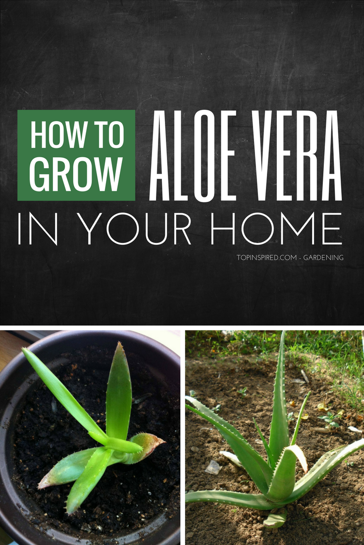 10 TIPS on How To Grow ALOE VERA [Step-by-Step]