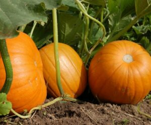 Top 10 Tips On Growing Your Own Pumpkins