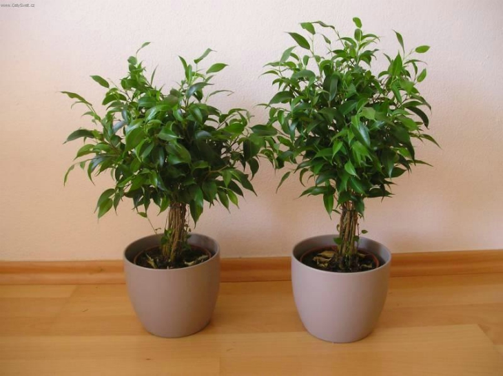 Top 10 Tips On How To Grow One Of The Best Air Purifier-Ficus Plant