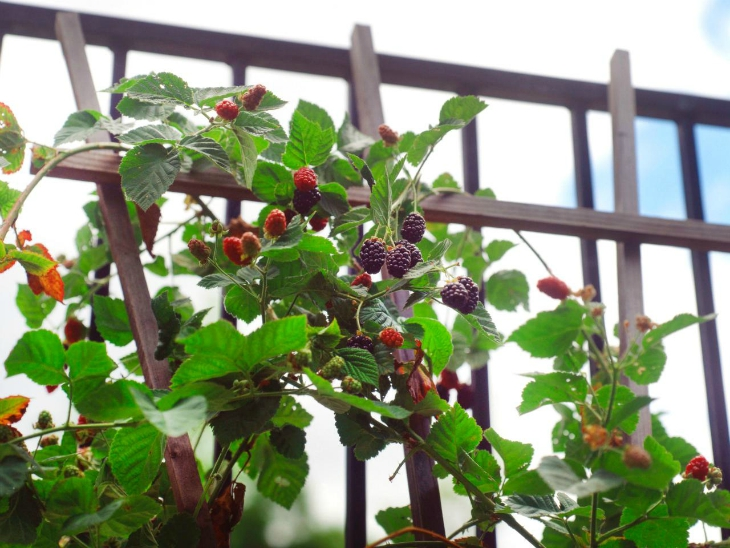 Top 10 Tips On How To Grow Raspberries - (Step by Step)