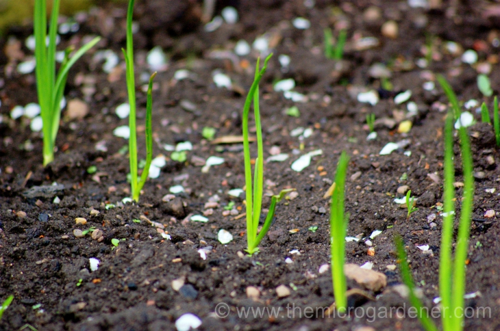 Top 10 Tips About Autumn Onion Planting