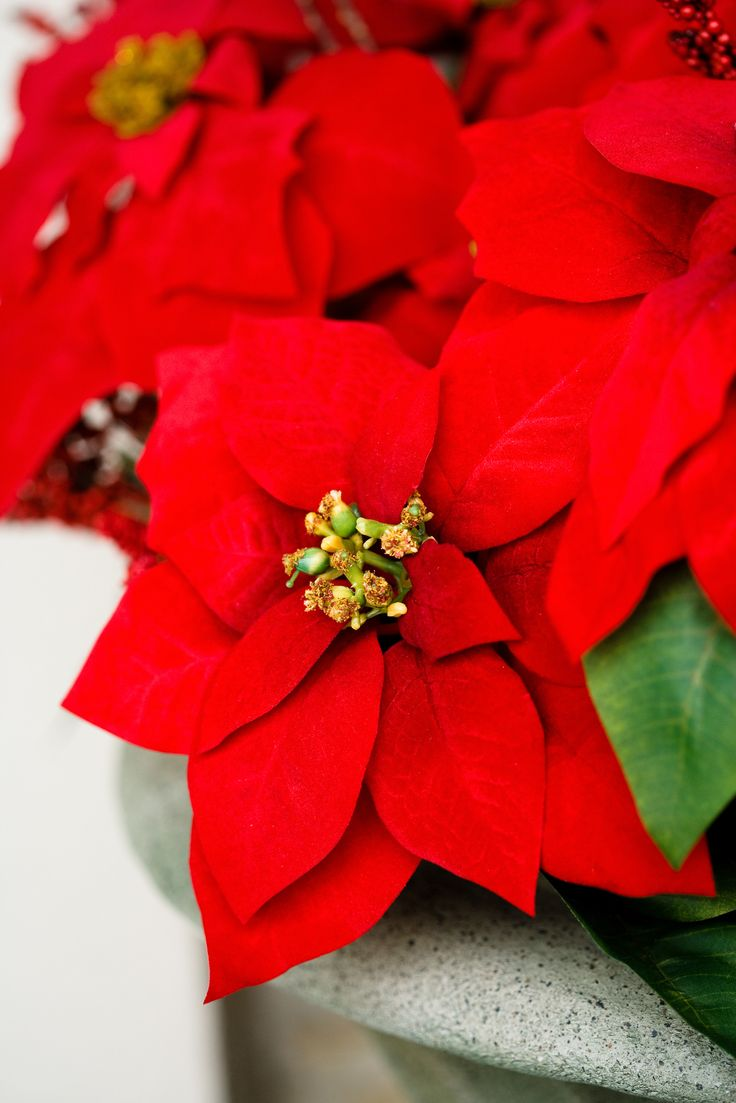 Top 10 Beautiful Flowers for the Best Christmas Spirit